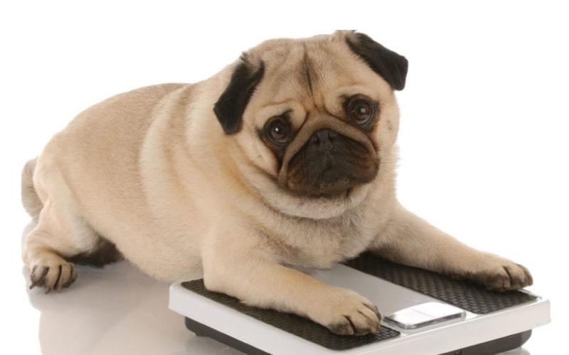 Pas ima previše kilograma